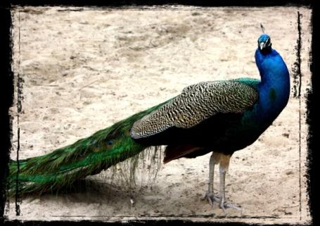 grungepåfågel